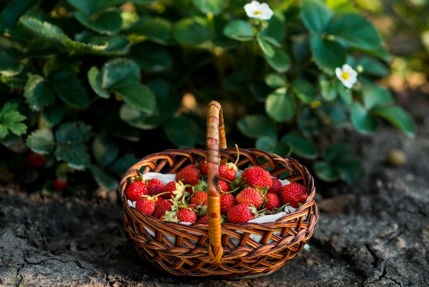 Strawberries basket on the ground