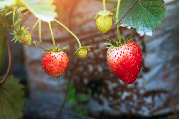 Strawberries growing in a greenhouse. close up of some ripe strawberries in the plantation.