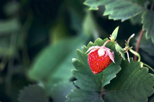 Клубника в саду. одиночные красные спелые ягоды, растущие на кусте.