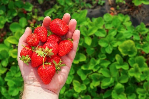 手のひらにイチゴ。甘くて健康的な夏の果物。ファームのコンセプト