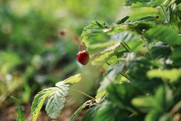 덤불에 딸기