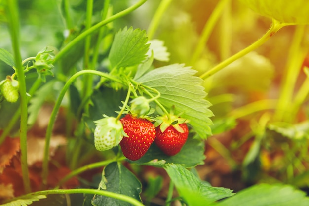 Strawberries on strawberry plant close up in the morning light