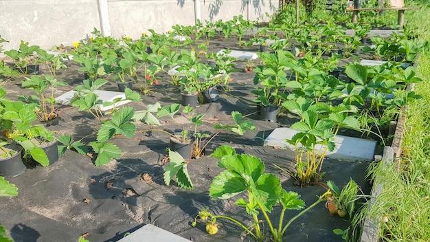 봄이나 여름에 화창한 날에 딸기 침대. 부시 베리. 마을 정원에는 퇴화한 딸기 덤불이 자라고 있습니다.