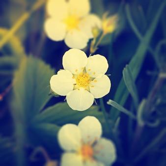 Цветет клубника весной