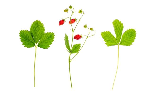 잘 익은 붉은 열매와 녹색 잎 딸기 지점