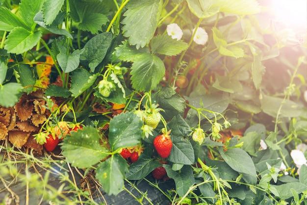 Strawberry bushes on strawberry field in a farm