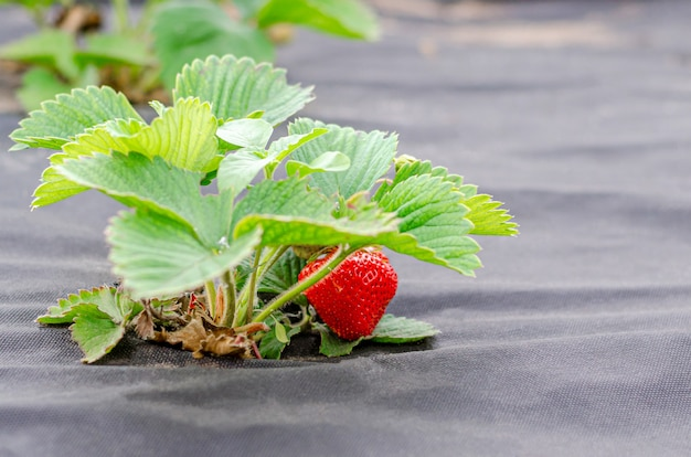Strawberry bushes with ripe berries are planted on agrofibre