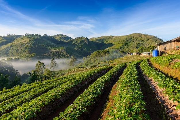 Strawberry farm array layer on hill at doi angkhang mountain, chiangmai, thailand