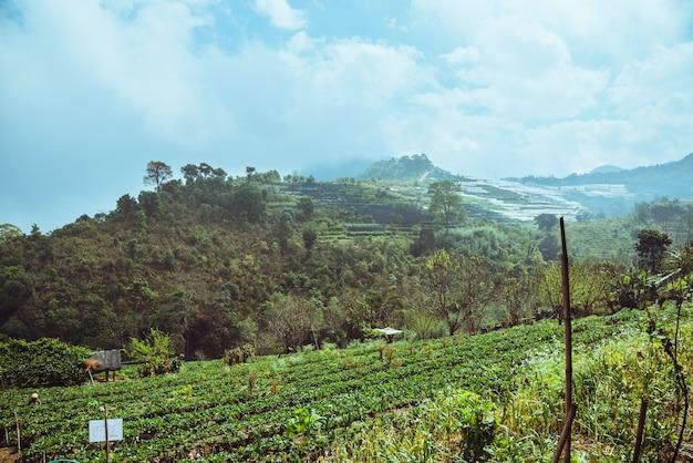 Strawberry farm of gardener. on the mountain of hilltribes.