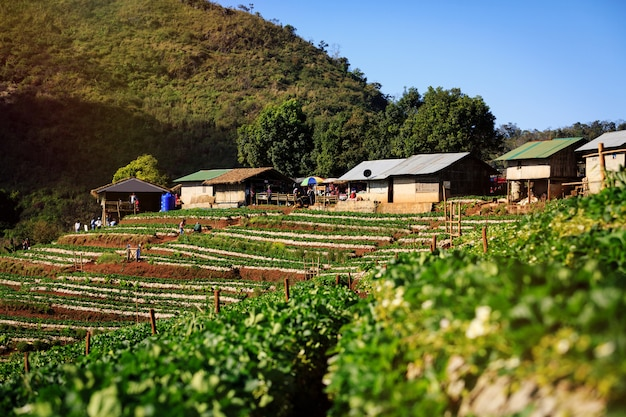 Strawberry farm on mountains in highland of thailand.