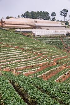 Strawberry farm with greenhouse.
