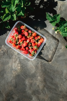 Strawberry filed in the garden outdoors during sunset woman han