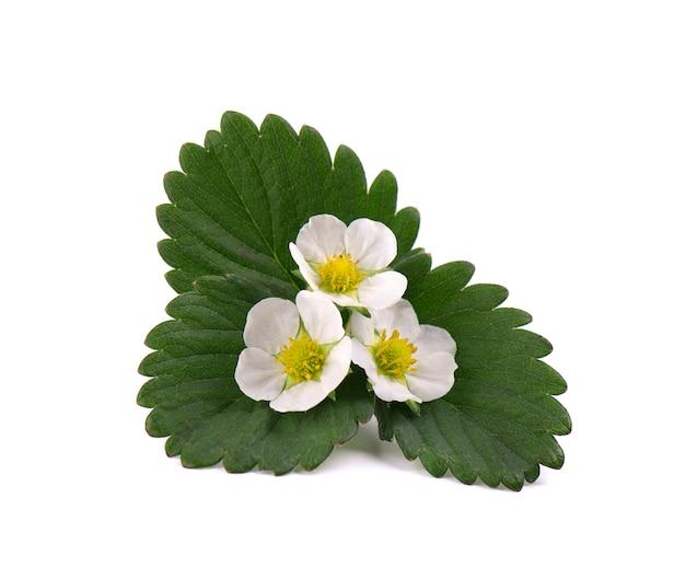 딸기 꽃과 나뭇잎 격리입니다.