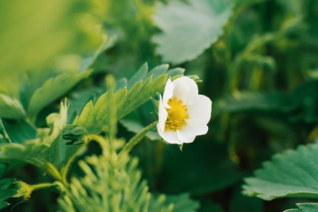 Клубничный цветок в саду крупным планом