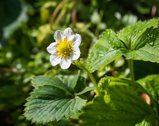 Цветы клубники, растущие в саду, после дождя. закрыть вверх