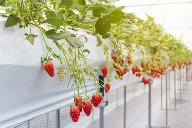 Strawberry fruit in nursery plantation at japan