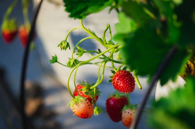The strawberry fruit and plant in the garden