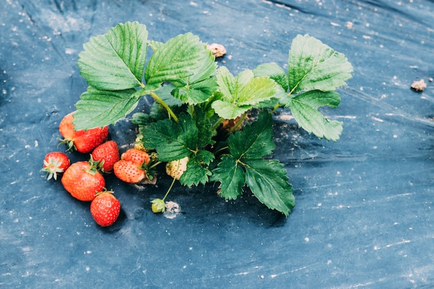 Strawberry fruits lying near plant
