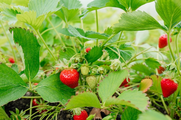 Strawberry plant bush ripe strawberry and foliage strawberries in growth at garden rural farm with berries bush strawberry fruits on the branch