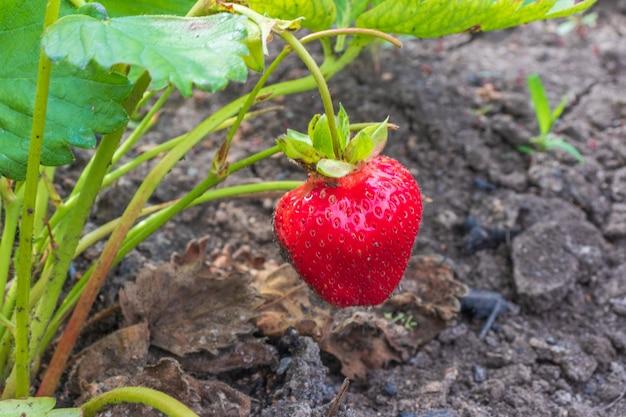 イチゴの植物。野生のイチゴの茂み。庭で成長しているイチゴ。熟したベリーと葉のイチゴ
