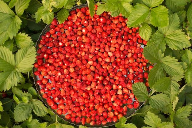 녹색 나뭇잎과 잘 익은 붉은 과일, 레드 베리 -fragaria vesca 딸기 식물.