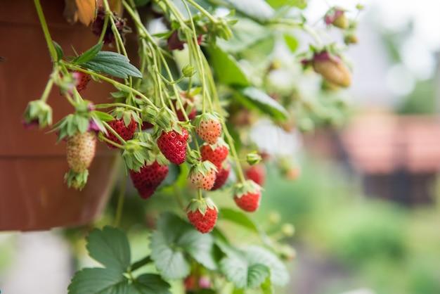 테라코타 화분에서 자라는 딸기 식물