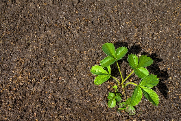 Strawberry plants grows in the ground