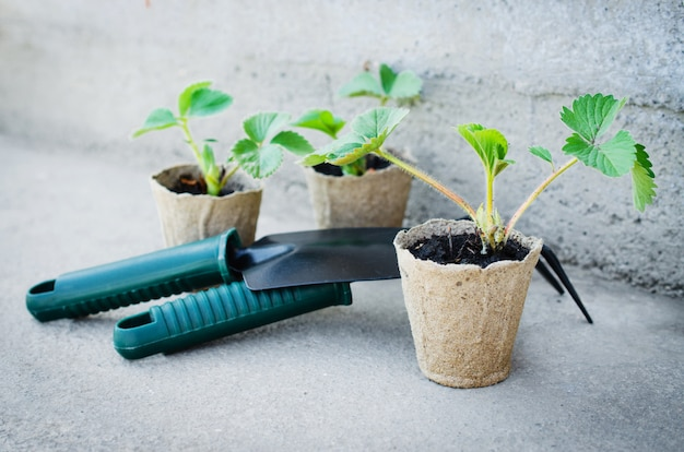 Strawberry plants with gardening tools.