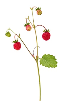 Strawberry with ripe fruits isolated on white background.