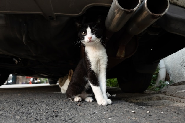 Stray black and white cat hide under a car with her brother in the city