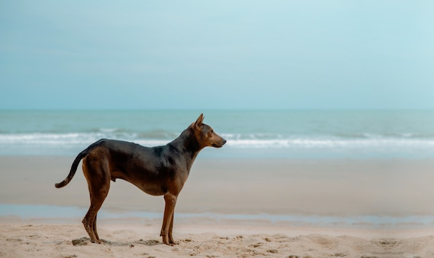 Stray dog on the sand beach. looking away. world pet day. clean and wide sea beach