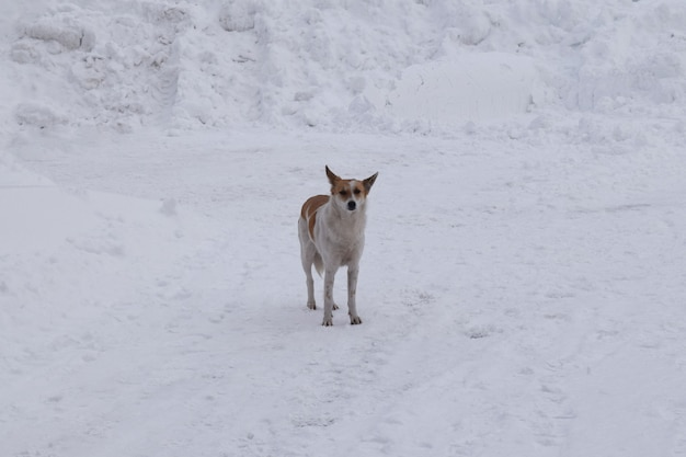 A stray dog walks in the snow-covered