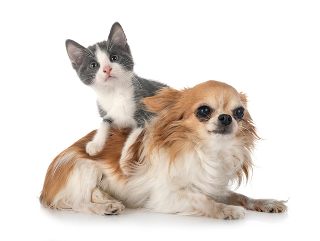 白い背景の前に迷子の子猫とチワワ