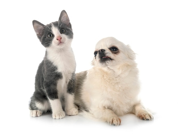 Stray kitten and chihuahua in front of white studio