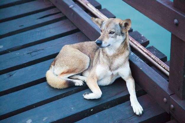 Stray mixed breed brown white color street dog lying on wooden bridge over water background