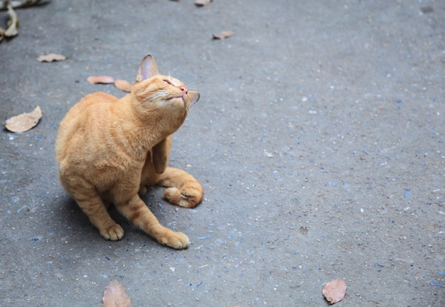 Stray mixed breed orange striped street cat scratching itself with hind leg on street background