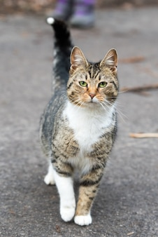 Stray tabby cat walking on the road. street cat in motion searching of food