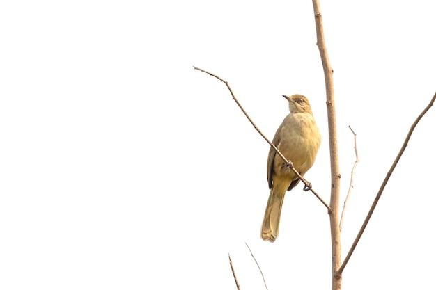 자연 현장에 행진 귀의 bulbul 새. 동물. 조류. (pycnonotus blanfordi)