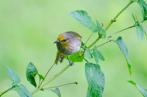 Streak-eared bulbul (pycnonotus blanfordi), bird in nature