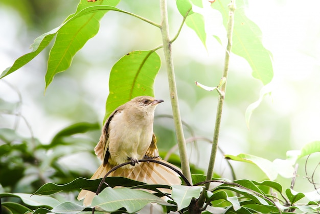 Streak-eared bulbul's standã¢â€â‹ing on branchesã¢â€â‹ in the forest. bird's in the nature background.