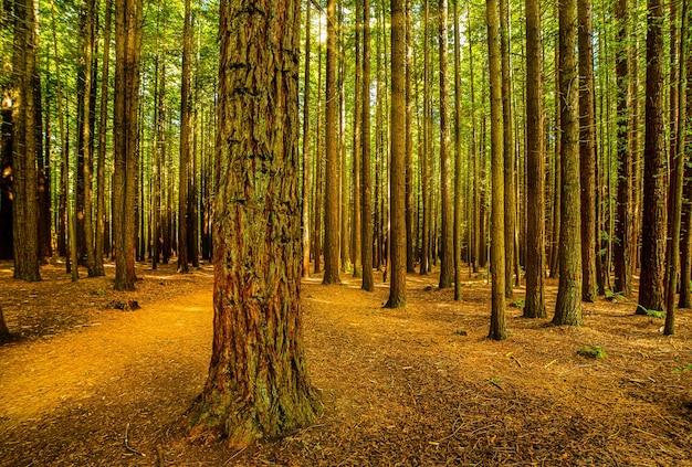 ロトルアのredwoodforestの木々を通して輝く日光の流れ