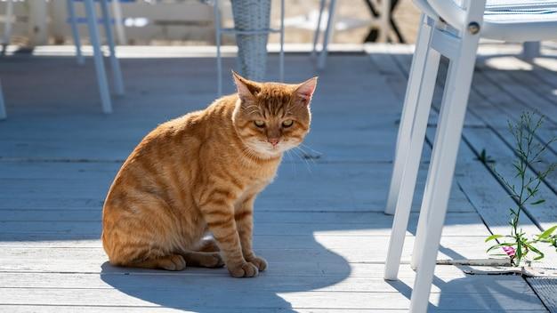 ギリシャ、ニキティのカメラを見下ろす、縞模様のオレンジ色の毛皮、黄色い目を持つ通りの猫