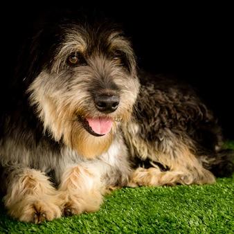 黒の背景を持つ草に横たわっている通りの犬