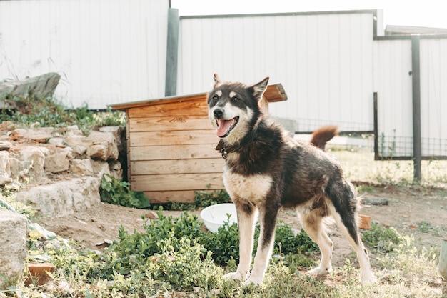 Уличный маламут, прикованный цепью к будке. ездовая собака подпоясана и прикована цепью возле конуры.