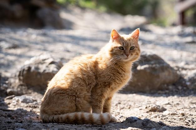 通りの赤い猫が地面に座って日光浴をします。かわいい太った猫が通りを歩きます。ペット。