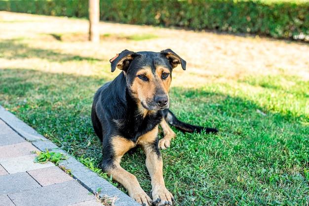 Уличная бездомная собака лежит на лужайке в городе. грустная собака