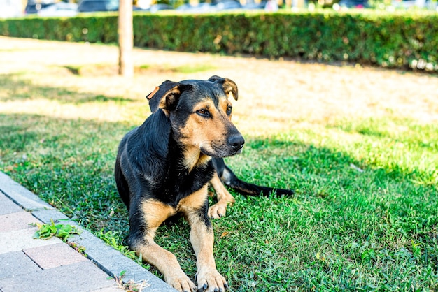 거리의 길 잃은 개가 도시의 잔디밭에 놓여 있습니다. 슬픈 개
