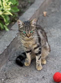 Street striped cat sits on the asphalt