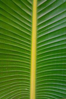 Strelitziaアルバ緑の葉