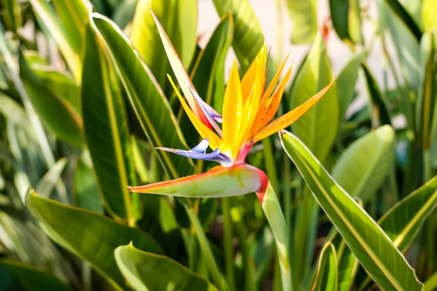 Strelitzia bird of paradise beautiful flowers in california.